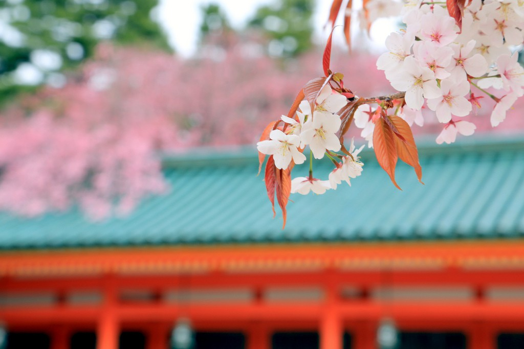 Best 5 Cherry Blossom Spots in Kyoto (Temple & Shrine)